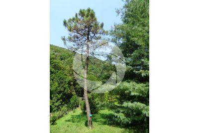 Pinus pinaster. Pino marittimo