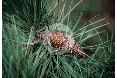 Pinus pinaster. Maritime pine. Strobilus