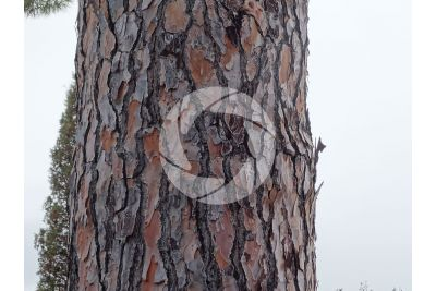 Pinus pinea. Pino domestico. Fusto