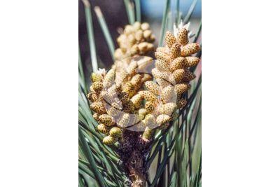 Pinus pinea. Pino domestico. Strobilo maschile