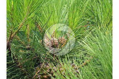 Pinus pinea. Pino domestico. Strobilo femminile