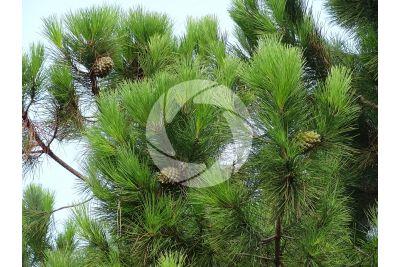 Pinus pinea. Stone pine. Strobilus