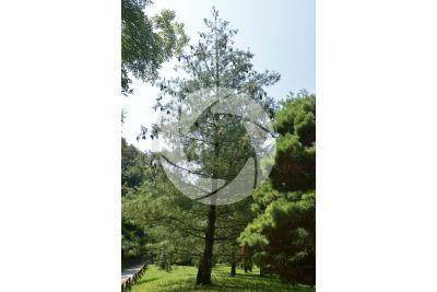 Pinus strobus. Eastern white pine