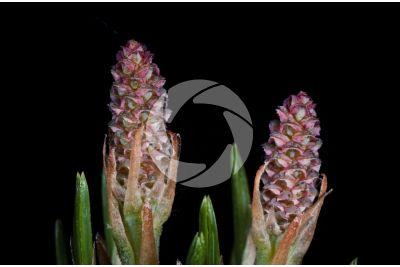 Pinus strobus. Eastern white pine. Female strobilus