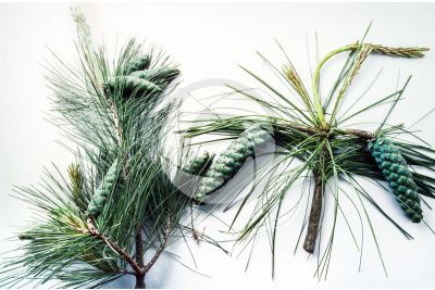 Pinus strobus and Pinus wallichiana. Eastern white pine and Himalayan pine. Strobilus