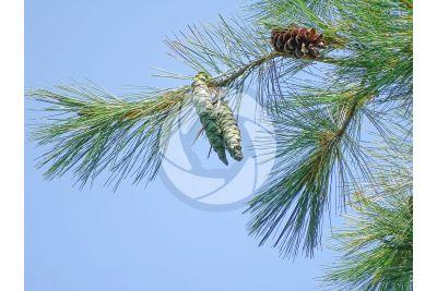 Pinus strobus. Eastern white pine. Strobilus