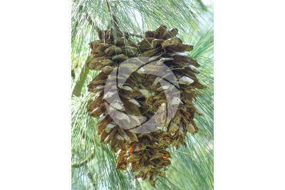 Pinus strobus. Pino strobo. Strobilo