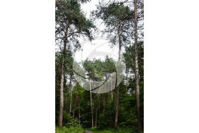 Pinus sylvestris. Pino silvestre