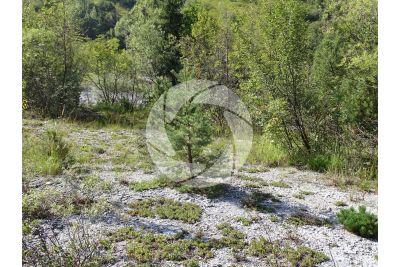 Pinus sylvestris. Scots pine