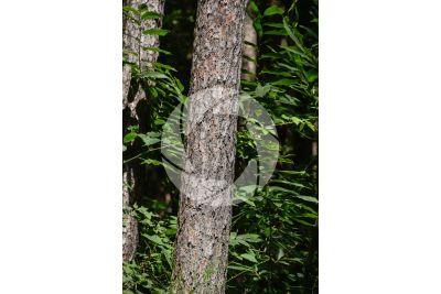 Pinus sylvestris. Pino silvestre. Fusto