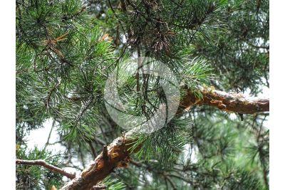 Pinus sylvestris. Pino silvestre. Foglia