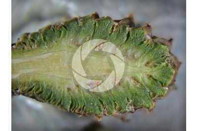 Pinus sylvestris. Pino silvestre. Strobilo femminile. Sezione longitudinale. 5X