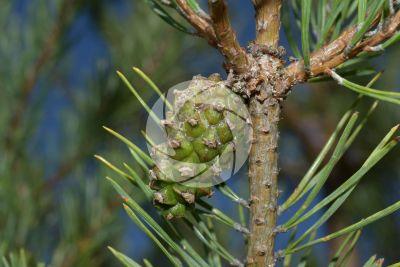 Pinus sylvestris. Pino silvestre. Strobilo