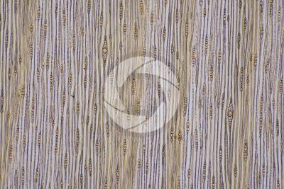 Pinus sylvestris. Pino silvestre. Fusto. Sezione longitudinale tangenziale. 64X