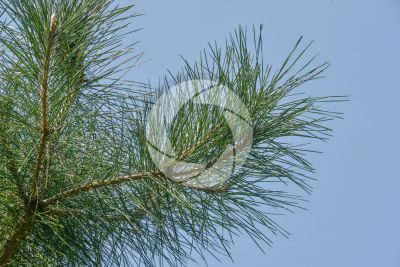 Pinus tabuliformis. Pino rosso cinese. Foglia