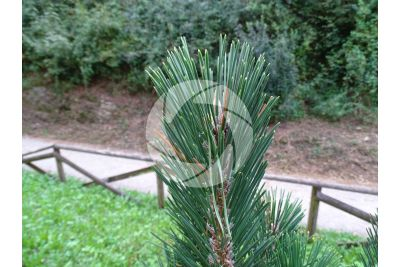 Pinus thunbergii. Pino nero giapponese. Foglia