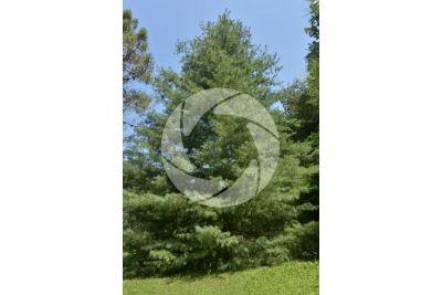 Pinus wallichiana. Pino dell'Himalaya