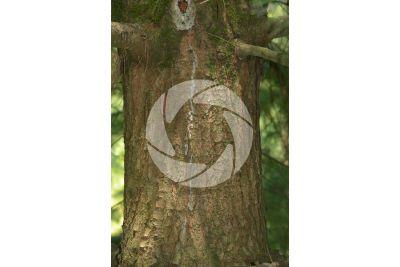 Pinus wallichiana. Himalayan pine. Stem
