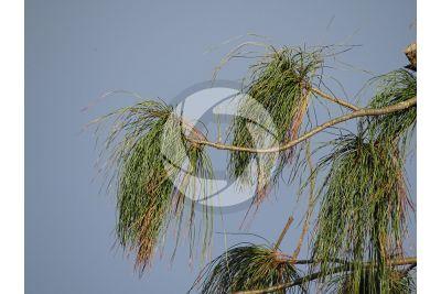 Pinus wallichiana. Pino dell'Himalaya. Foglia