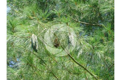Pinus wallichiana. Pino dell'Himalaya. Strobilo