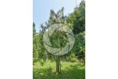 Pinus yunnanensis. Yunnan pine
