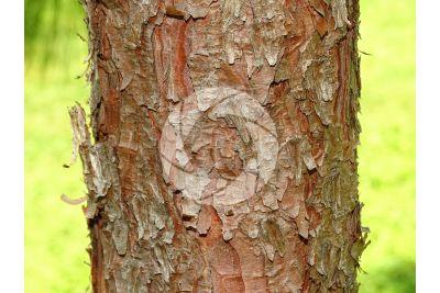 Pinus yunnanensis. Pino dello Yunnan. Fusto