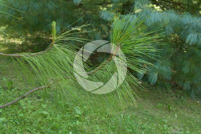 Pinus yunnanensis. Pino dello Yunnan. Foglia