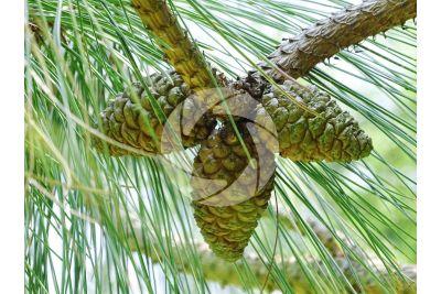 Pinus yunnanensis. Pino dello Yunnan. Strobilo