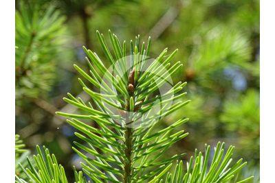 Pseudotsuga menziesii fastigiata. Douglas fir. Leaf