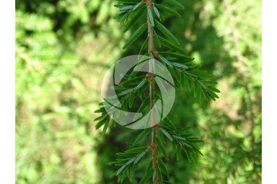 Tsuga canadiensis. Canadian hemlock. Leaf