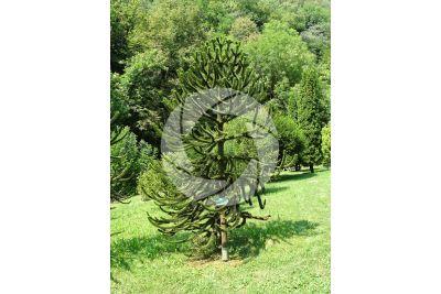 Araucaria araucana. Chilean pine