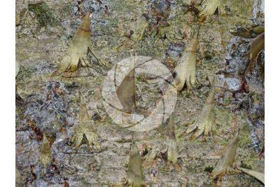 Araucaria araucana. Chilean pine. Stem