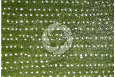 Araucaria araucana. Foglia. 30X