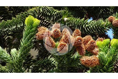 Araucaria araucana. Chilean pine. Male strobilus