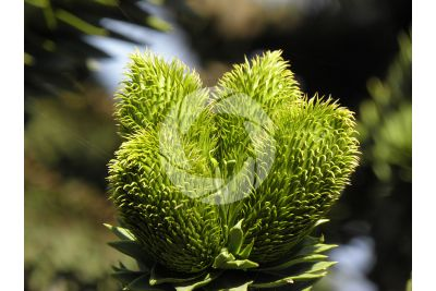 Araucaria araucana. Chilean pine. Female strobilus