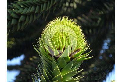 Araucaria araucana. Strobilo femminile