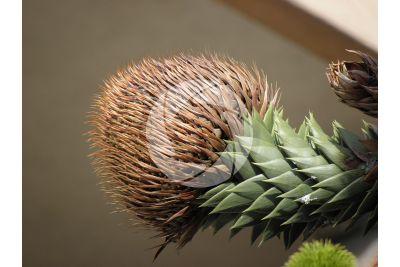 Araucaria araucana. Chilean pine. Strobilus