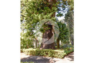 Araucaria heterophylla. Norfolk Island pine. Stem