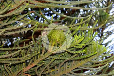 Araucaria heterophylla. Norfolk Island pine. Female strobilus