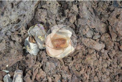 Araucaria heterophylla. Norfolk Island pine. Seed