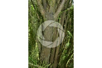 Podocarpus macrophyllus. Podocarpo kusamaki. Fusto