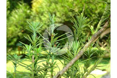 Podocarpus macrophyllus. Yew plum pine. Leaf
