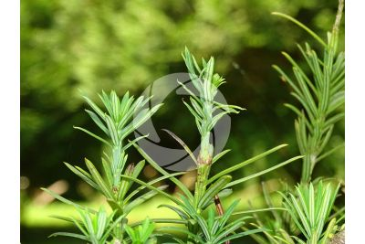 Podocarpus macrophyllus. Podocarpo kusamaki. Foglia