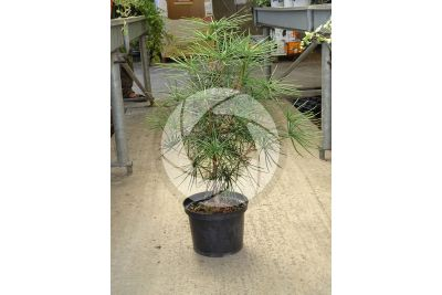 Sciadopitys verticillata. Japanese umbrella-pine