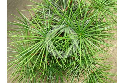 Sciadopitys verticillata. Japanese umbrella-pine. Leaf