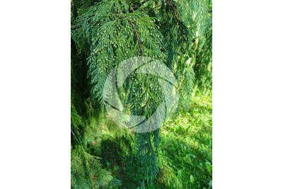 Callitropsis nootkatensis. Nootka cypress. Male strobilus