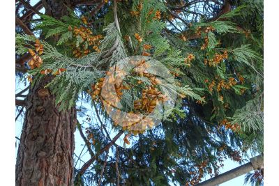 Calocedrus decurrens. California incense cedar. Strobilus
