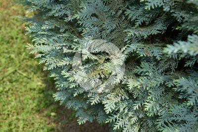 Chamaecyparis lawsoniana. Cipresso di Lawson. Foglia