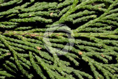 Chamaecyparis lawsoniana. Lawson cypress. Leaf