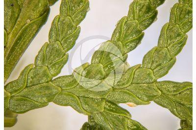 Chamaecyparis lawsoniana. Cipresso di Lawson. Foglia. 5X